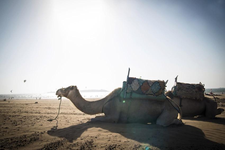 Marocco in Africa / Essaouira: camels